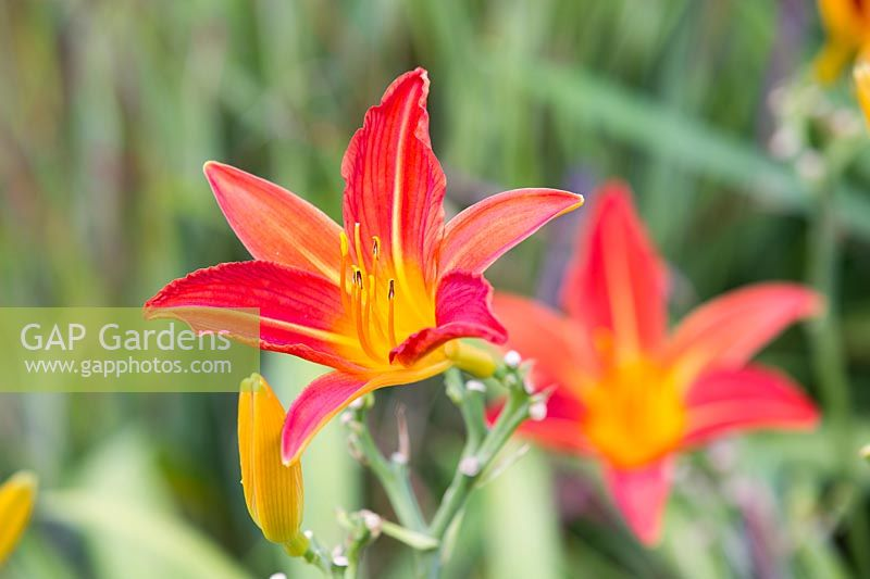 Hemerocallis 'Red Precious' flowering in August