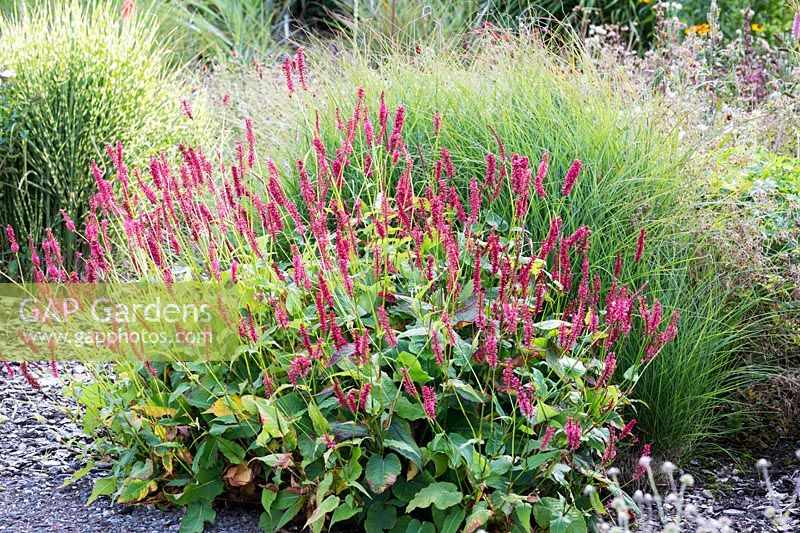 Persicaria amplexicaulis 'Dikke Floskers' and Miscanthus sinensis 'Gnome'