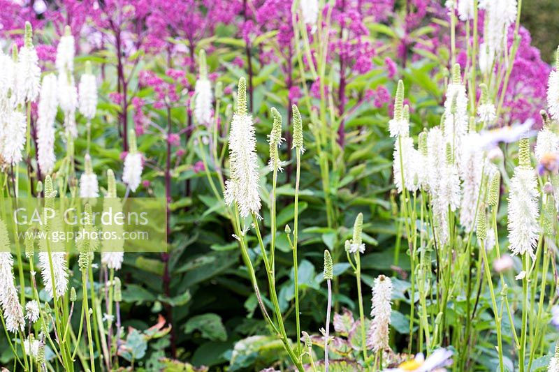 Sanguisorba canadensis 'Twisty' flowering with Eupatorium maculatum 'Orchard Dene' in the backgroud