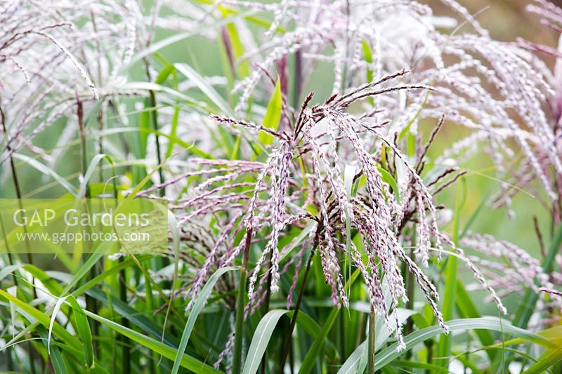 Miscanthus sinensis 'Gewitterwolke' flowering in August