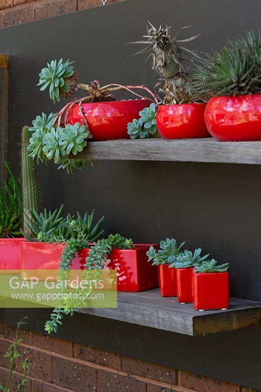 A display of cactus and succulents in a variety of red glazed pots on recycled timber shelving