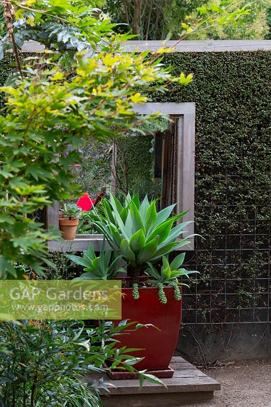 Timber screen interplanted with Muehlenbeckia complexa, wire vine, to make a green screen with a mirror to give the illusion of space. A large potted Agave attenuata, Century plant in a red glazed pot on a timber plinth.