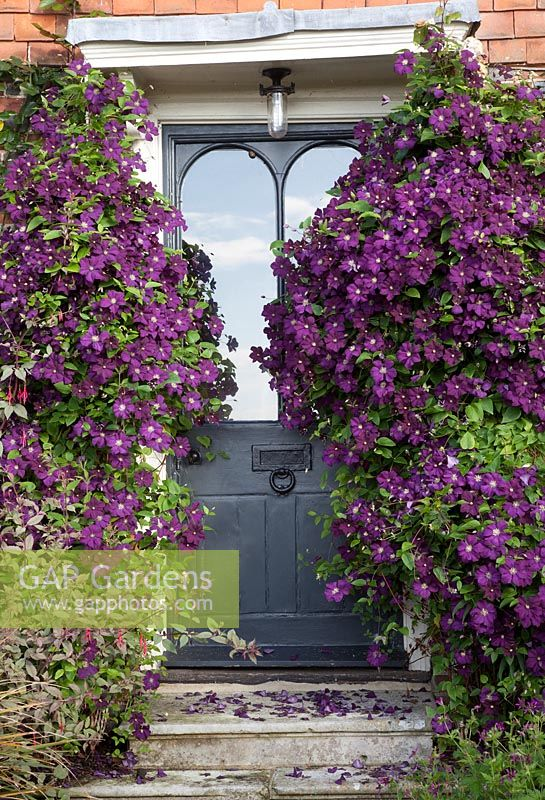 Clematis 'Etoile Violette' clothes walls and frames front door.