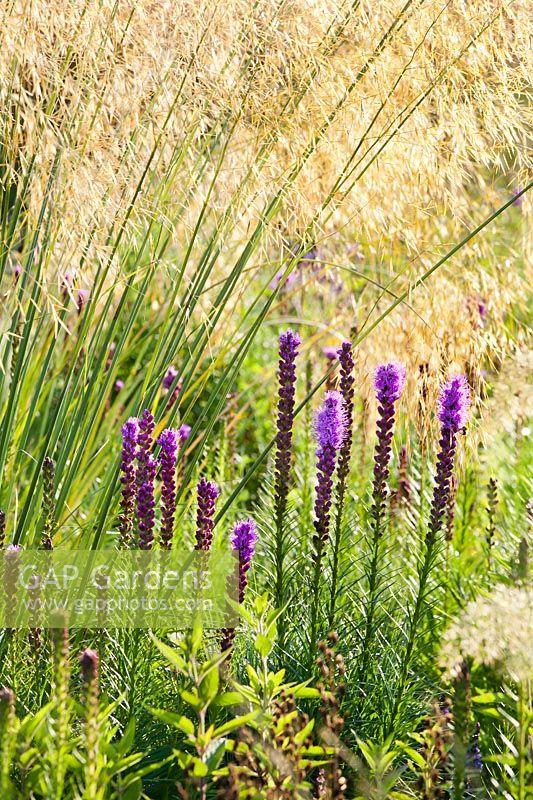 GAP Gardens - Liatris spicata and Stipa gigantea in Prairie garden ...