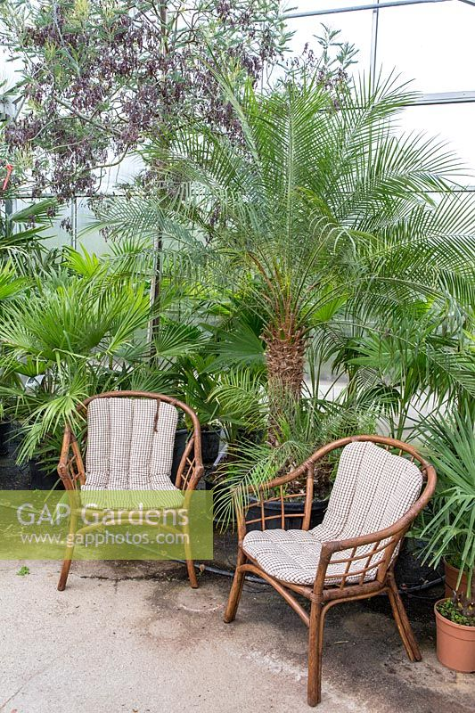 Rattan chairs next to palms displayed in the glasshouse, Phoenix  roebelenii