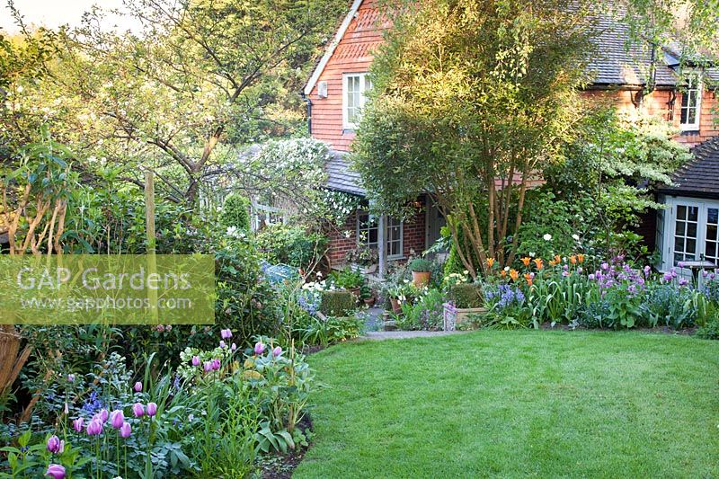 Cottage garden in spring with mixed Tulipa 'Ballerina' and Tulipa 'Blue Heron', Myosotis, Hyacinthoides hispanica, Clematis montana 'Alba' and Lunaria annua. Garden: Quarry Cottages, Sussex