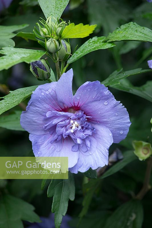 GAP Gardens - Hibiscus syriacus Blue Chiffon - \'Notwood3\'. Rose of ...