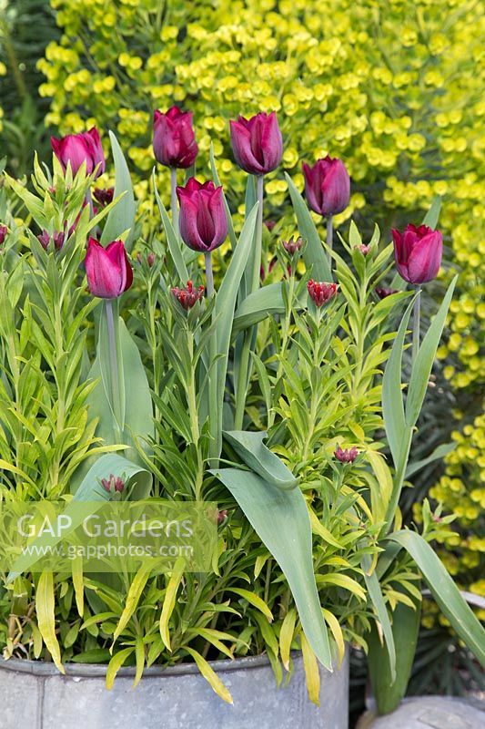 Galvanised container with Tulipa 'Ronaldo' and Wallflowers 'Scarlet Emperor'