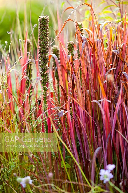 Gap gardens imperata cylindrica 39 red baron 39 and liatris - Imperata cylindrica red baron ...
