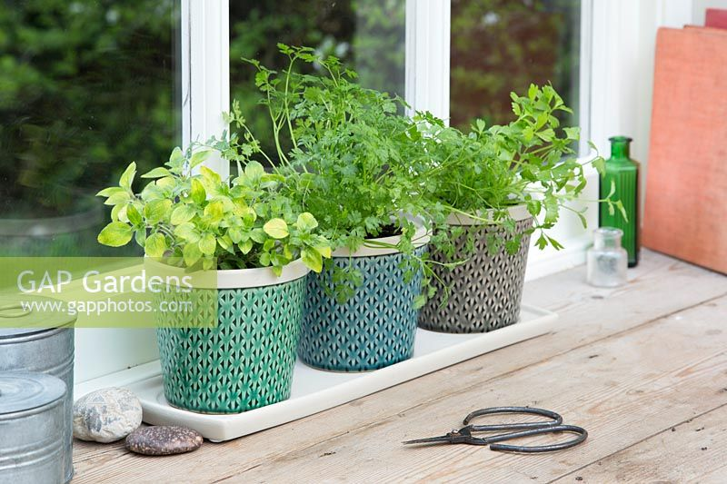 Row of herbs in windowsill - Origanum vulgare - Goldsplashed Marjoram, Anthriscus cerefolium - Chervil and Apium graveolens - Celery Leaf
