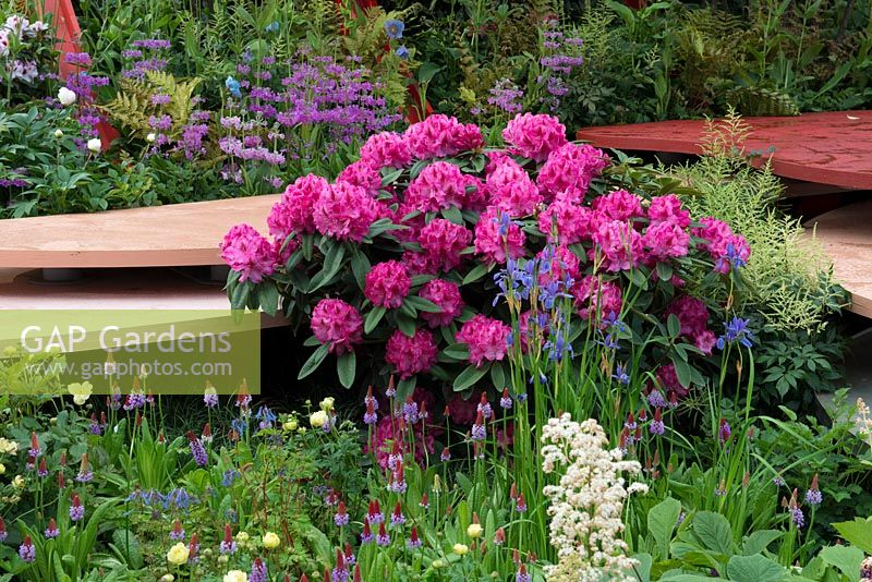 Pink Rhododendron with Iris typhifolia and Primula vialii - The Chengdu Silk Road Garden - RHS Chelsea flower show 2017 - Designer: Laurie Chetwood and Patrick Collins