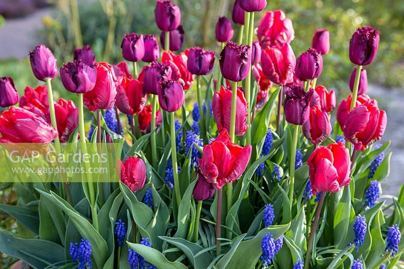 Red and violet tulips together with Muscari
