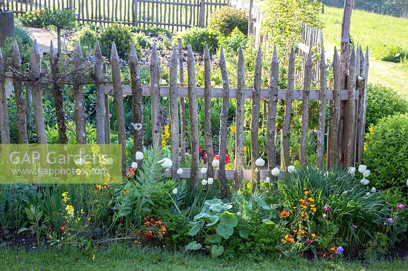 A traditional farmer's garden is separated from the surroundings by a wooden picket fence. Plants are Tulips, Erysimum - wallflowers and Fritillaria persica