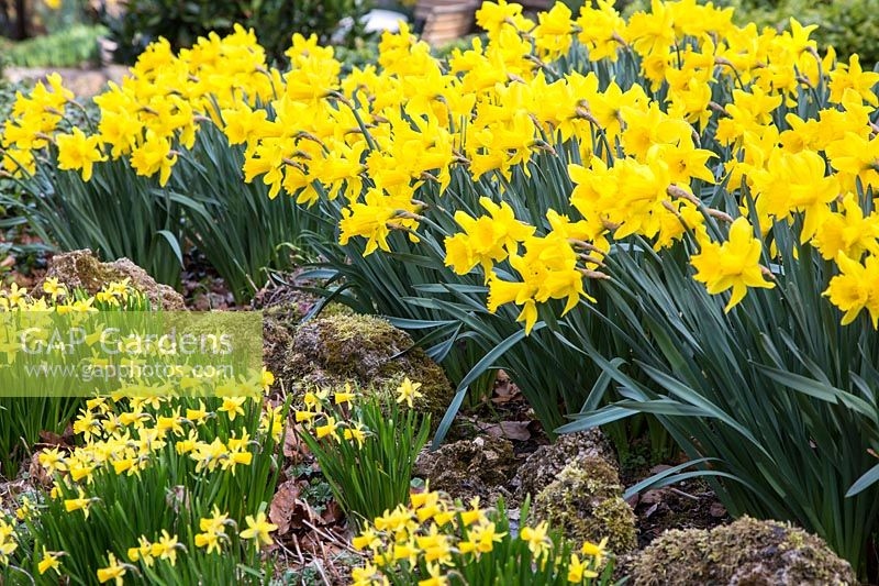 Mass planting with two Narcissus - daffodil varieties