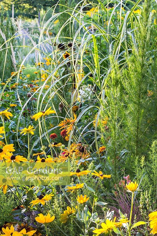 Detail of colour schemed annual planting in Weihenstephan with Eupatorium capillifolium 'Elegant Feather', Rudbeckia hirta 'Chim Chiminee', Rudbeckia hirta 'Indian Summer' and Rudbeckia hirta 'Marmelade'