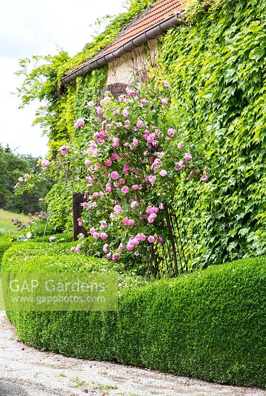 Rosa 'Louise Odier' - pink shrub rose between clipped Buxus - box hedge and a wall covered with Parthenocissus tricuspidata  - Japanese ivy