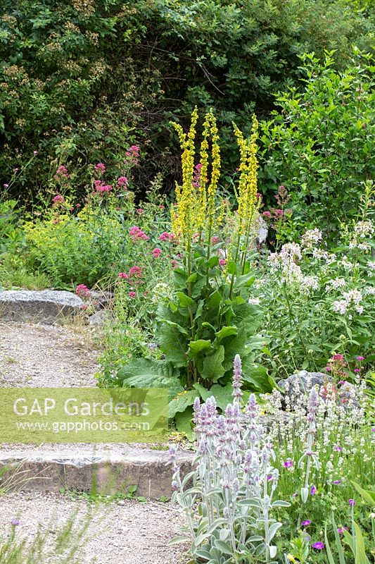 Gravel path through planting with Centranthus ruber Coccineus, Saponaria officinalis, Stachys byzantina and Verbascum nigrum