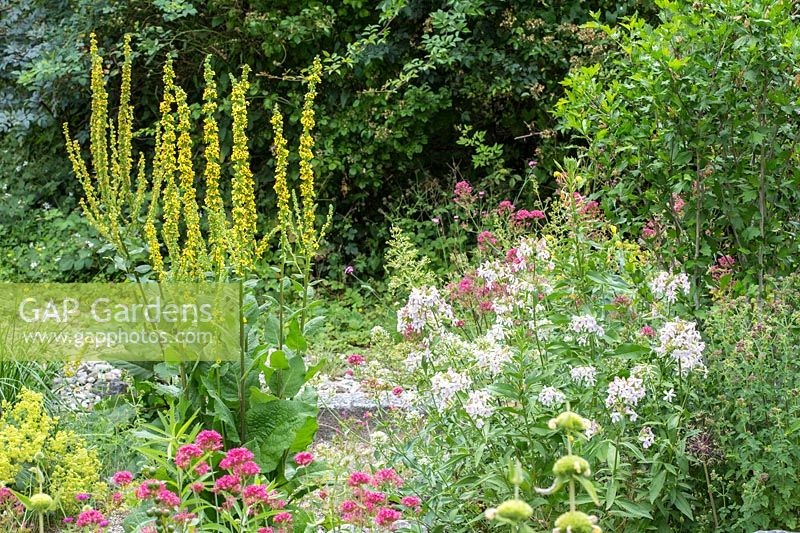 Verbascum, Saponaria officinalis, Centranthus ruber 'Coccineus' and Phlomis russeliana in the gravel garden at Munich Westpark