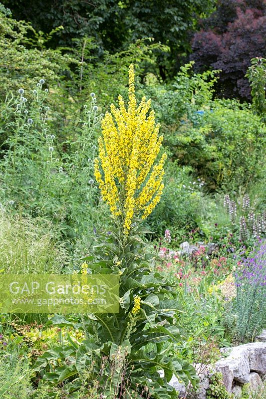 Verbascum olympicum and Echinops are outstanding plants in the Gravel garden at Munich Westpark