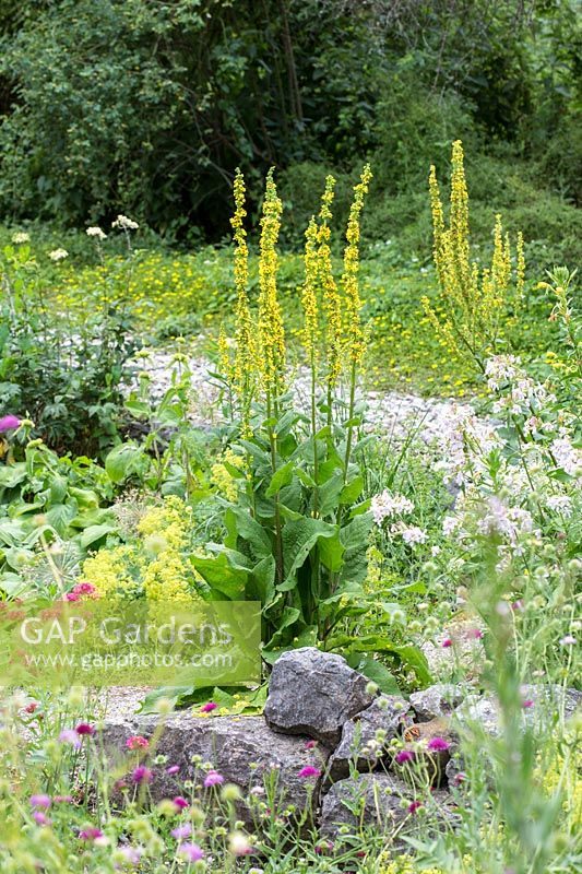 Typical plants of a nature inspired planting at Munich Westpark are Verbascum nigrum, Saponaria officinalis and Alchemilla mollis