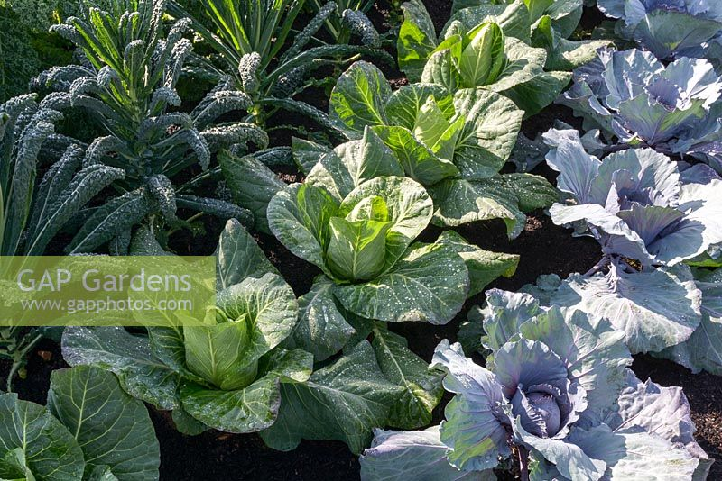 Red and white  Cabbages and Kale in vegetable garden -  It's All About Community Garden - RHS Hampton Court Palace Flower Show 2017 - Designers: Andrew Fisher Tomlin and Dan Bowyer.