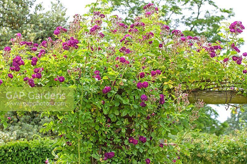 Rosa Bleu Magenta Rambling Rose David Austin Garden Wolverhampton Uk