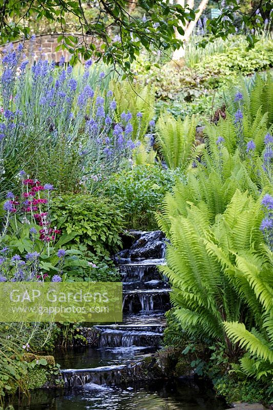 Camassia leichtlinii subsp. suksdorfii Caerulea Group and Matteuccia struthiopteris- Shuttlecock ferns in early summer with stream, Rosemoor Gardens, RHS, Devon.
