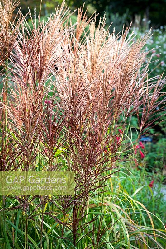 Miscanthus sinensis 'Rotsilber'- Chinese Silver Grass