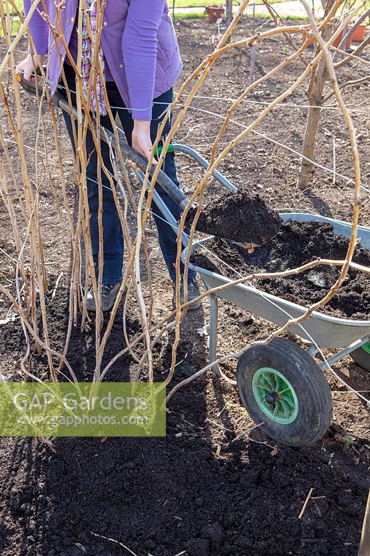 Mulching raspberry canes with compost in spring, March
