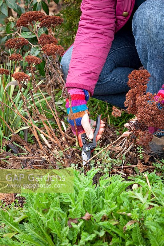 Cutting back sedums in spring. Removing old flowered stems, February