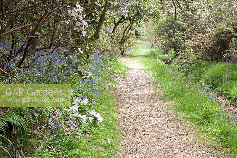 Woodland path bordered with flowering shrubs including magnolia and Rhododendron johnstoneanum, edged with  English bluebells - Scilla non-scripta or Hyacinthoides non-scripta, High Beeches Garden.