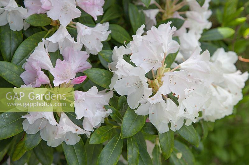 Rhododendron yakushimanum hybrid in Sandling Park garden.  The  plant's pink buds lighten to pure white.