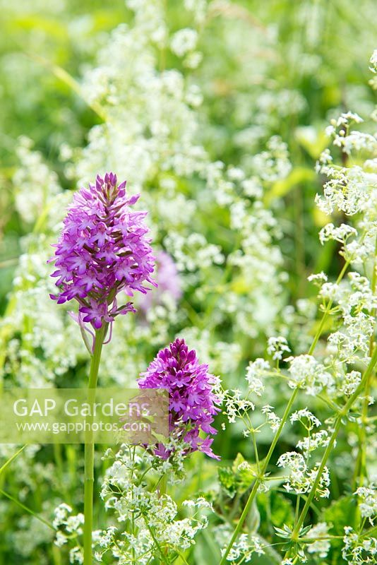 Anacamptis pyramidalis - Pyramidal orchid and  Galium saxatile - Heath Bedstraw, June