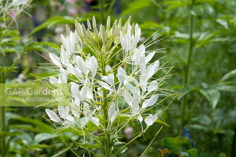 Gap gardens cleome hassleriana sparkler white spider flower cleome hassleriana sparkler white spider flower july mightylinksfo