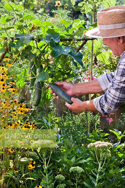 Man harvesting cucumbers, August