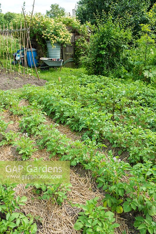 Potatoes. Rows of plants on a well tended allotment with straw mulch. June