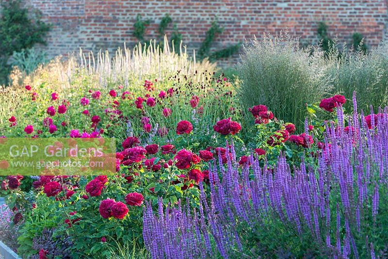Rosa 'Darcey Bussell' in border with Salvia nemorosa 'Amethyst', Sanguisorba officinalis 'Tanna', Calamagrostis brachytricha. June