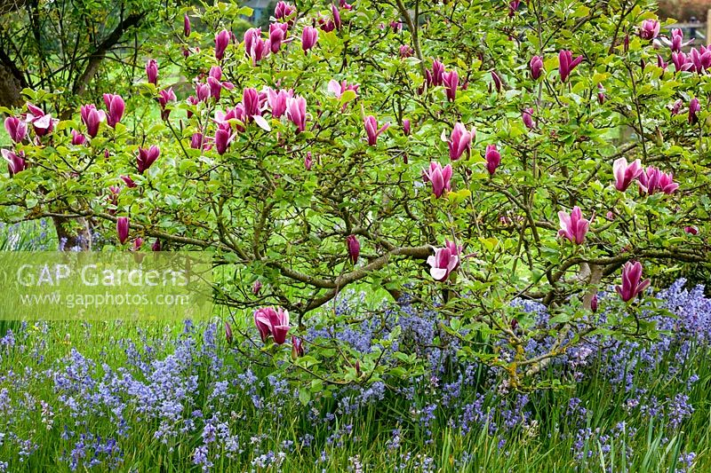 Magnolia liliiflora 'Nigra', black lily magnolia, underplanted with Spanish bluebells at Pettifers - Hyacinthoides hispanica
