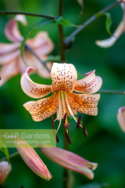 Lilium Tiger Babies Group, July.