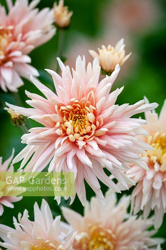 Chrysanthemum 'Avignon Pink', October.