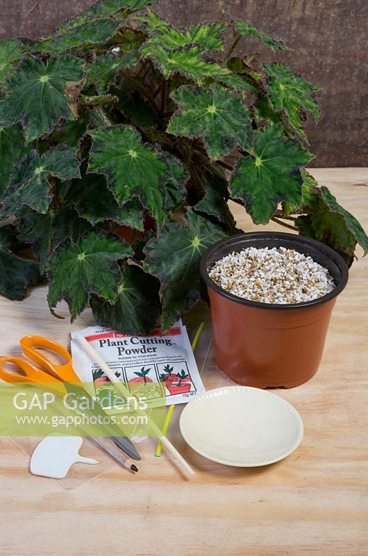 Gap Gardens Begonia Leaf Wedge Propagating Feature By Brent