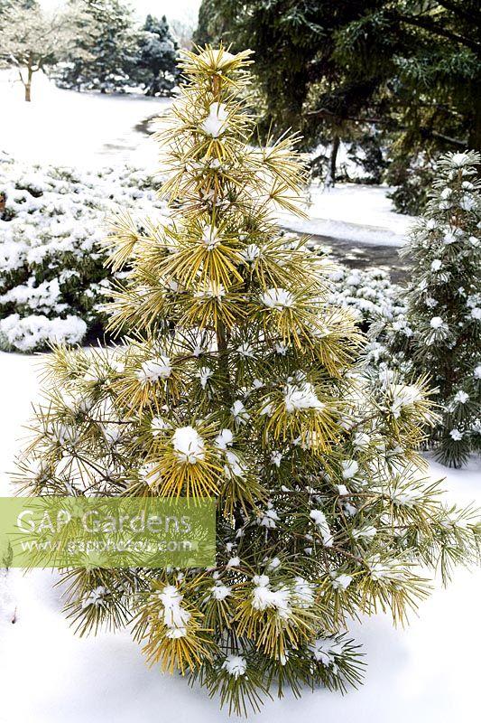 Gap Gardens Sciadopitys Verticillata Ossorio Gold Japanese