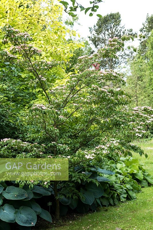 Cornus kousa 'Beni-Fuji', a deciduous tree bearing pink bracts in early summer - National Collection of  Cornus at Newby Hall.