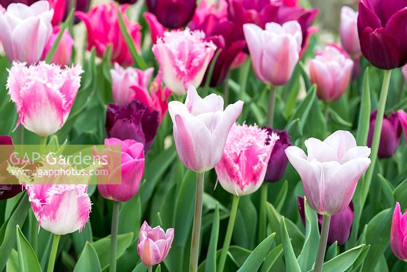 Tulipa 'Mistress Gray' with 'Pretty Love', 'Merlot' and 'Huis Ten Bosch'.