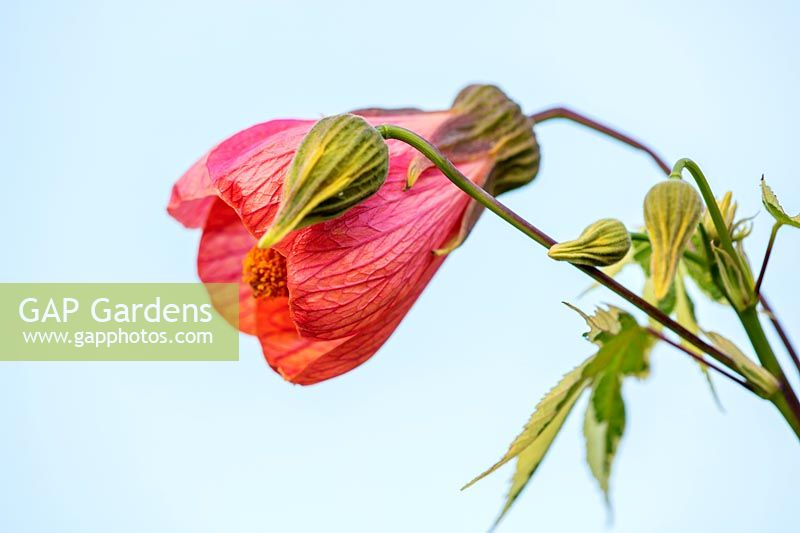 Abutilon 'Orange Glow' - Bourton House Garden, Gloucestershire