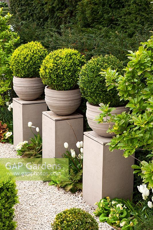 Front garden with pedestals and box balls, London, April.