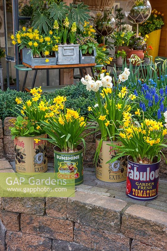 Old food cans planted with Narcissus, Holland, April.