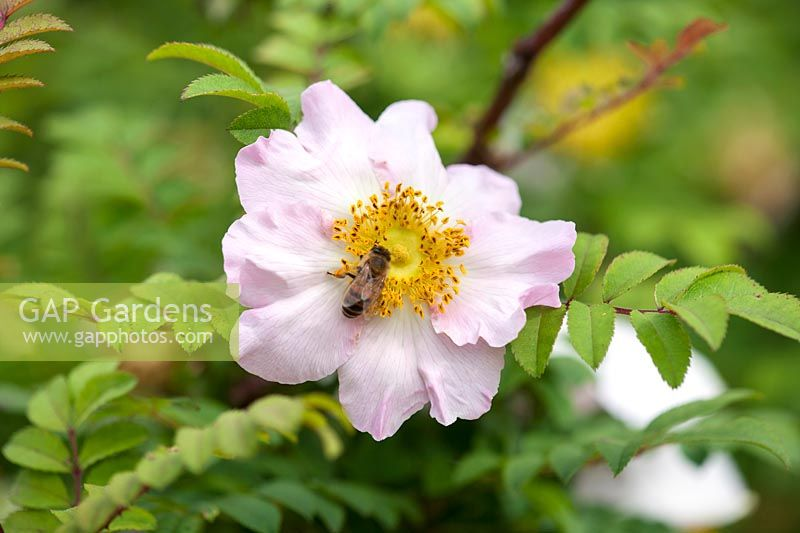 Rosa roxburgii with bee