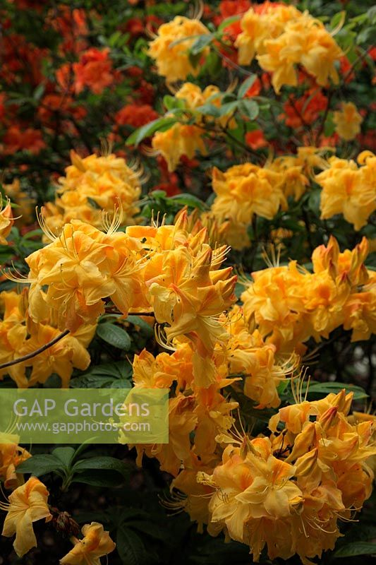 Gap Gardens Rhododendron Sun Chariot Is A Deciduous Azalea With