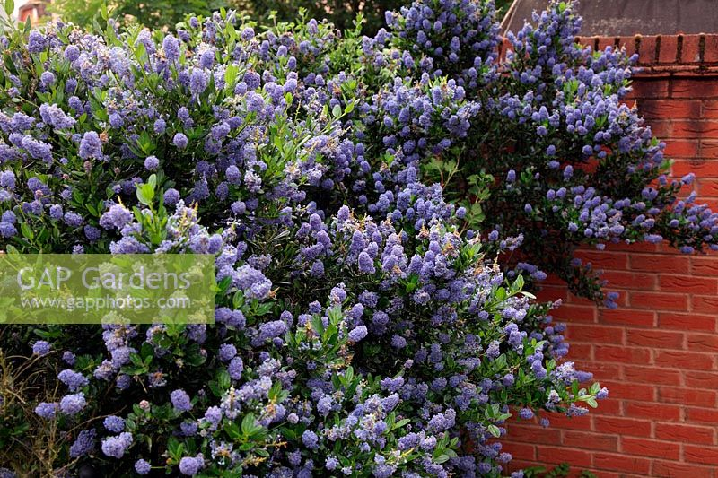 Ceanothus thyrsiflorus 'Skylark' AGM - Ceanothus benefit from the warmth of walls and paved surfaces when growing in the UK